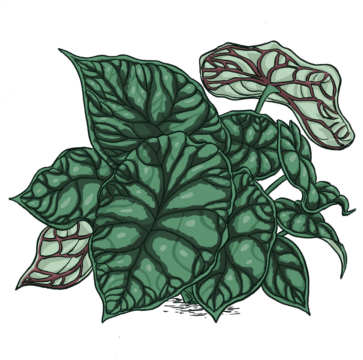 Alocasia-DragonscaleWEB