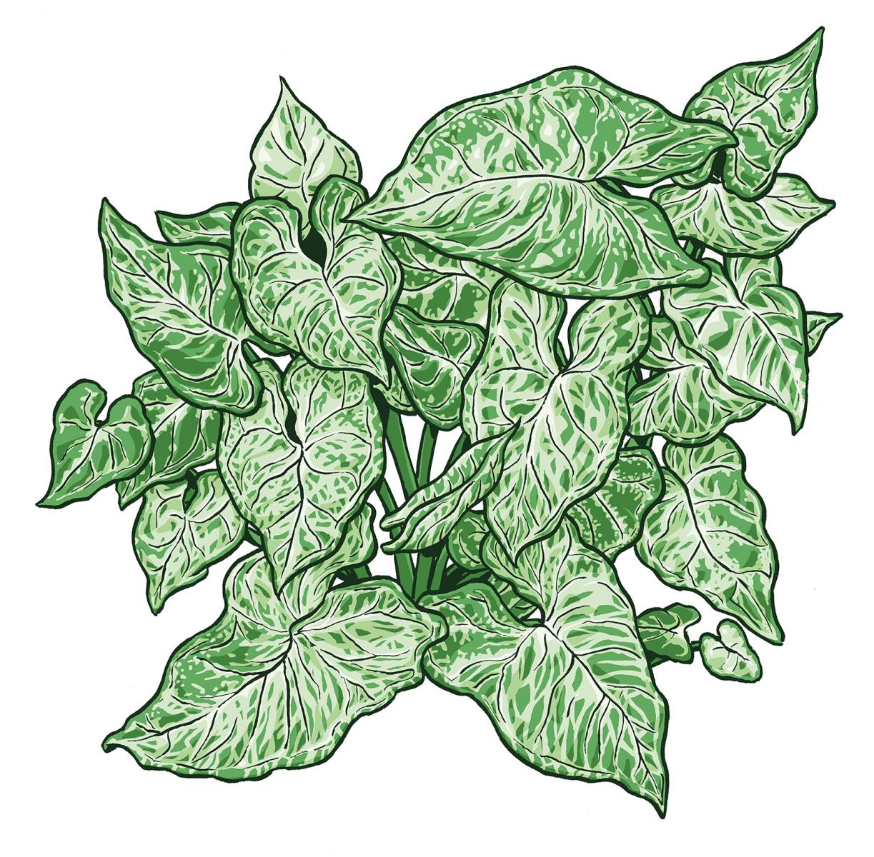 Syngonium-PodophyllumWEB