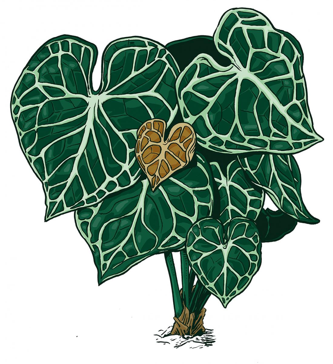 Anthurium-ClarinerviumWEB