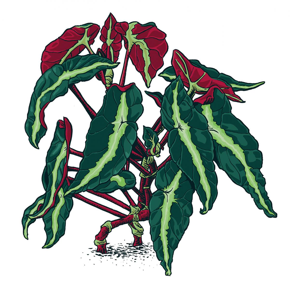 Begonia-LystadaWEB