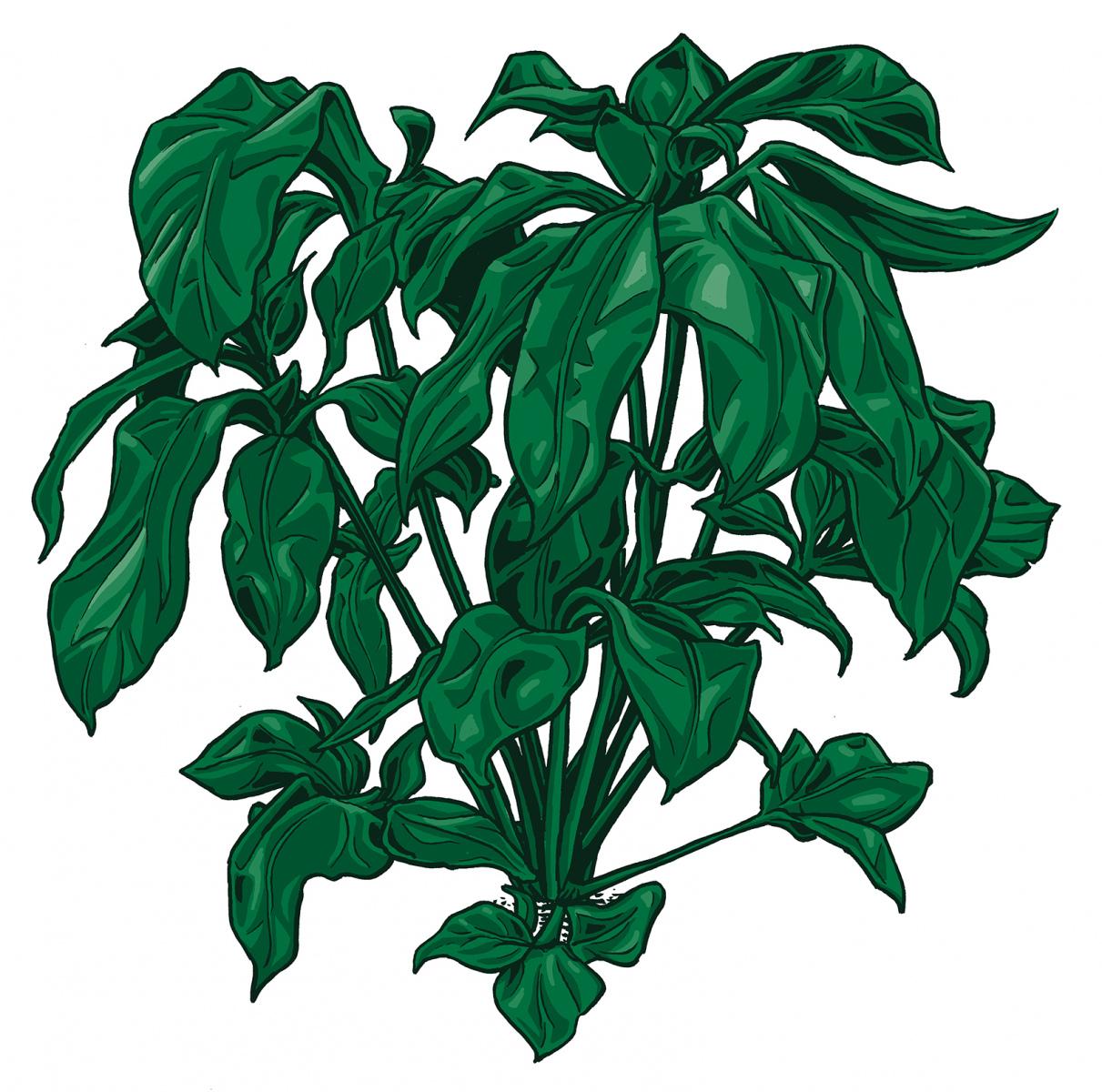 Philodendron-FunbunWEB